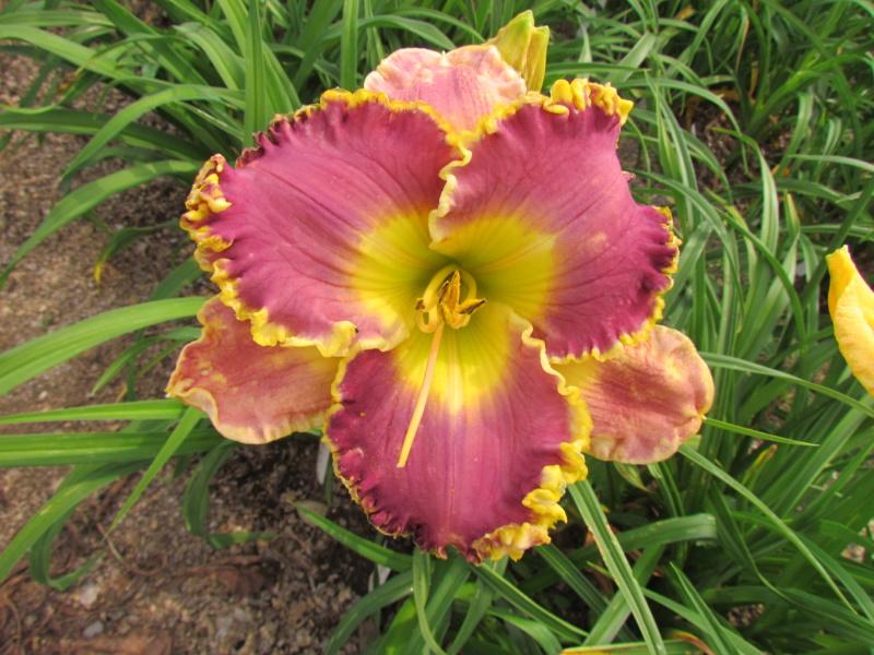 Mes hybrides: Semis 2013 au jardin - Page 2 13745-10