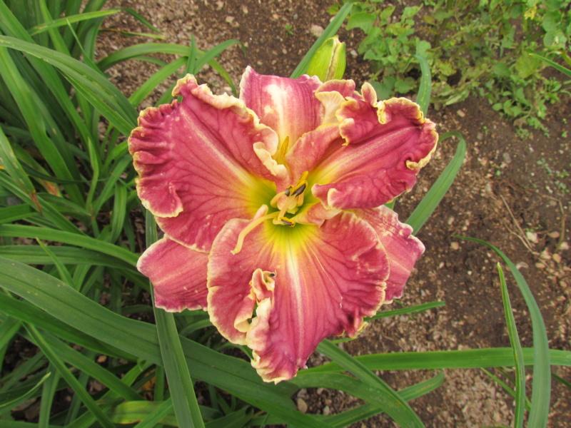 Mes hybrides: Semis 2013 au jardin - Page 2 13782-11