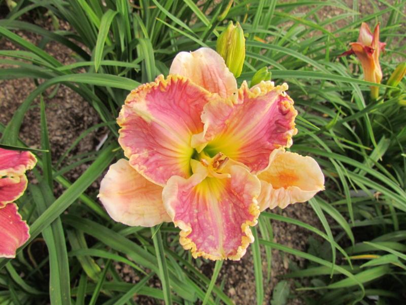 Mes hybrides: Semis 2013 au jardin - Page 2 13782-12