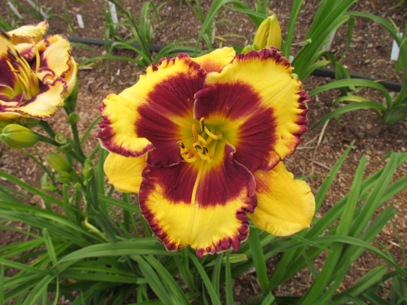Mes hybrides: Semis 2014 au jardin 14026-10