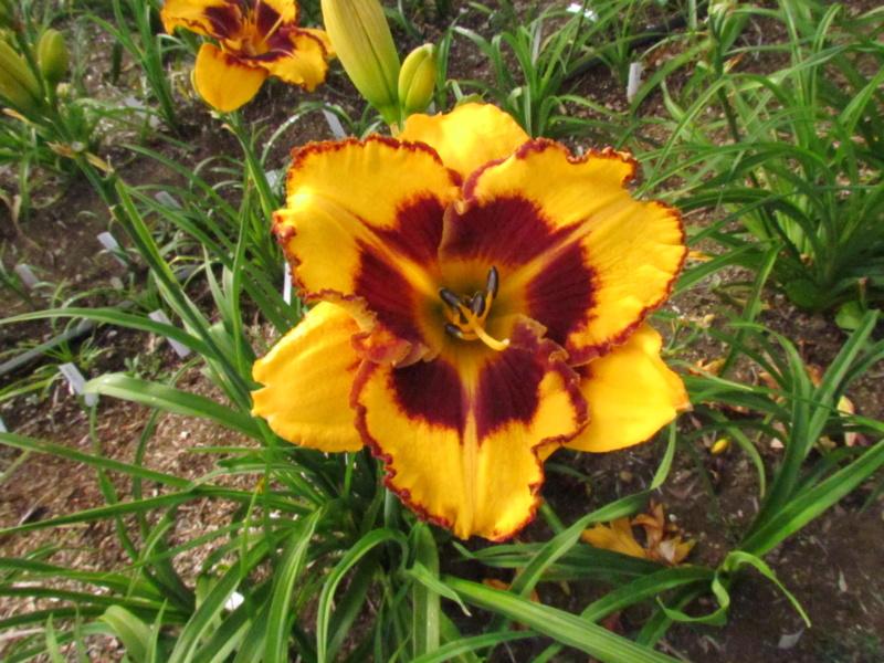 Mes hybrides: Semis 2014 au jardin 14031-10
