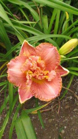 Mes hybrides: Semis 2014 au jardin 14035-10