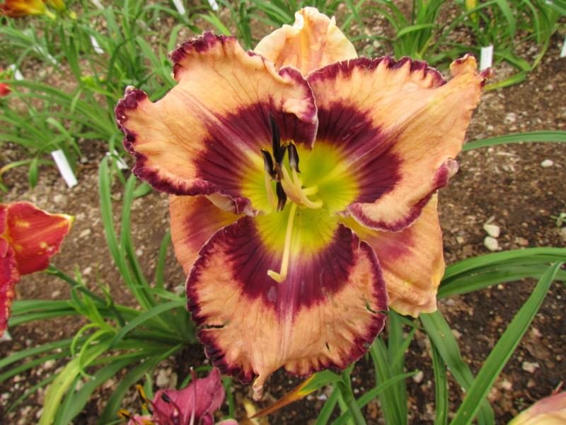 Mes hybrides: Semis 2014 au jardin 14037-10