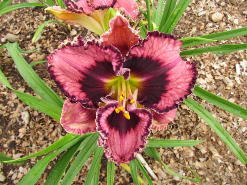 Mes hybrides: Semis 2014 au jardin 14037-11