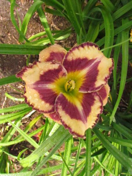 Mes hybrides: Semis 2014 au jardin 14060-12