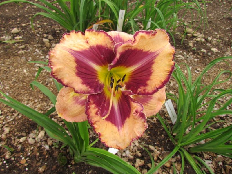 Mes hybrides: Semis 2014 au jardin 14060-13