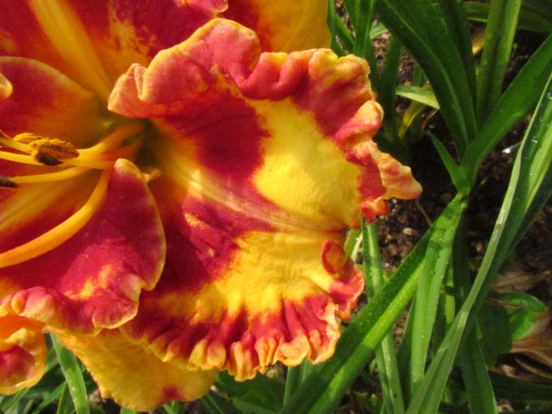 Mes hybrides: Semis 2014 au jardin 14065-10