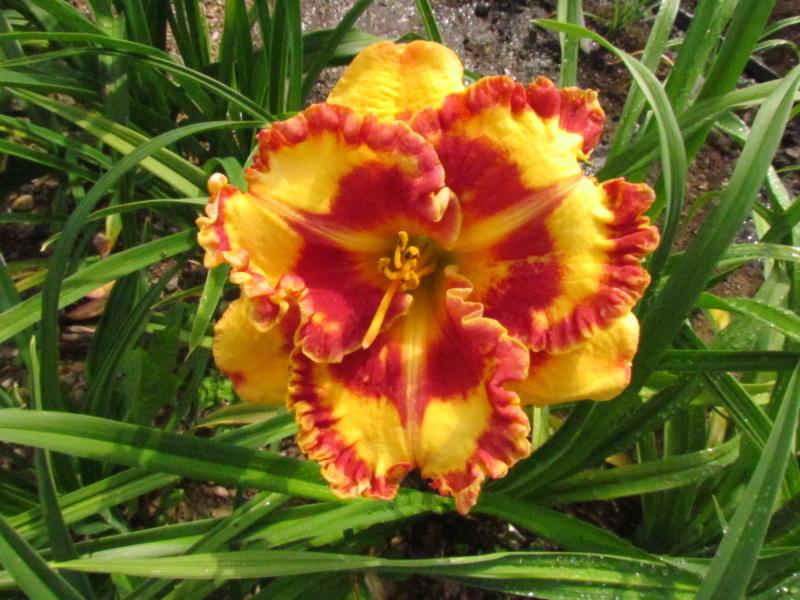 Mes hybrides: Semis 2014 au jardin 14065-11