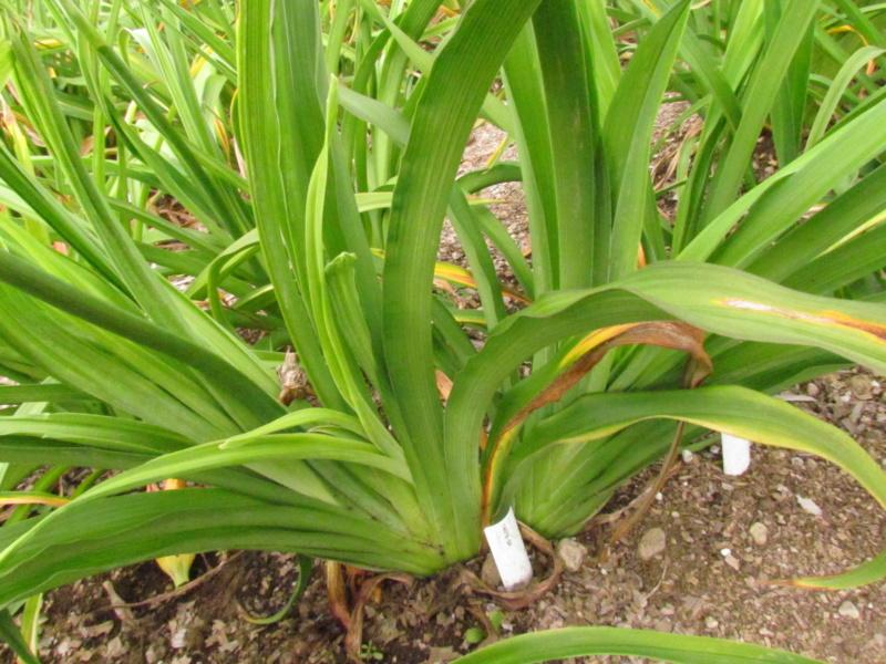 Mes hybrides: Semis 2014 au jardin 14078-10