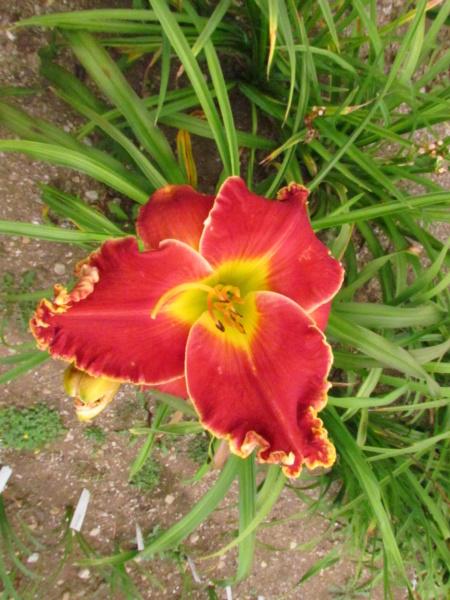 Mes hybrides: Semis 2014 au jardin 14078-11