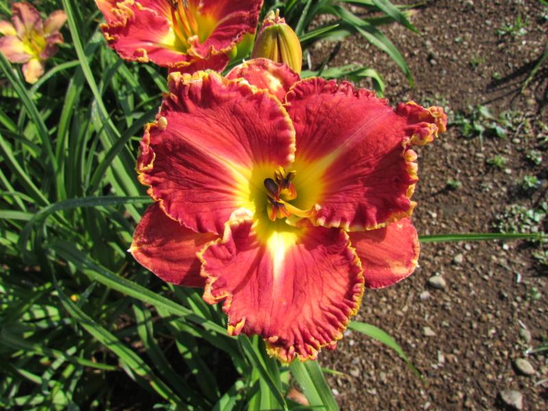 Mes hybrides: Semis 2014 au jardin 14080-10