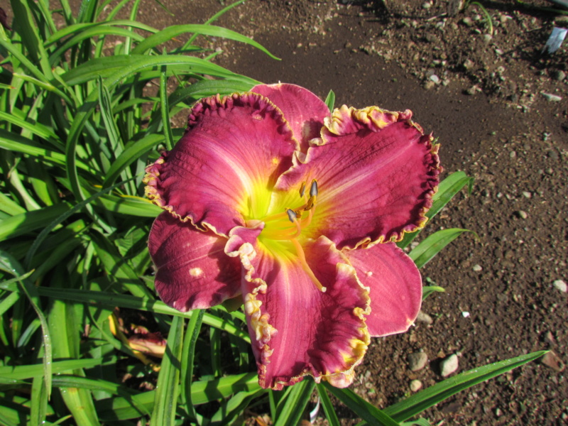 Mes hybrides: Semis 2014 au jardin 14080-11