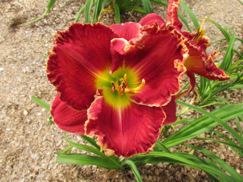 Mes hybrides: Semis 2014 au jardin 14080-13