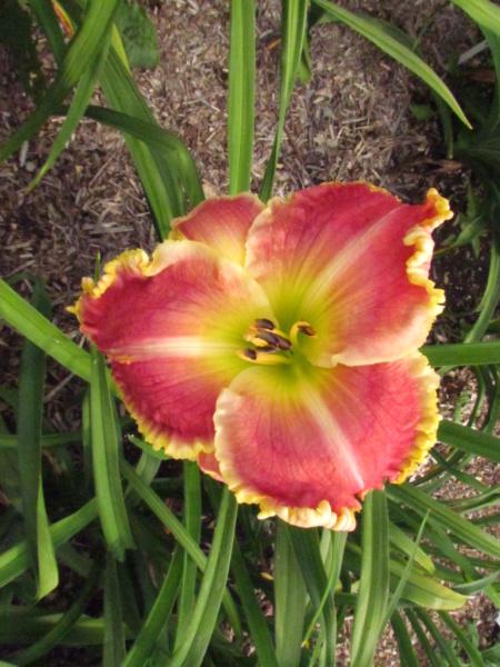 Mes hybrides: Semis 2014 au jardin 14081-10