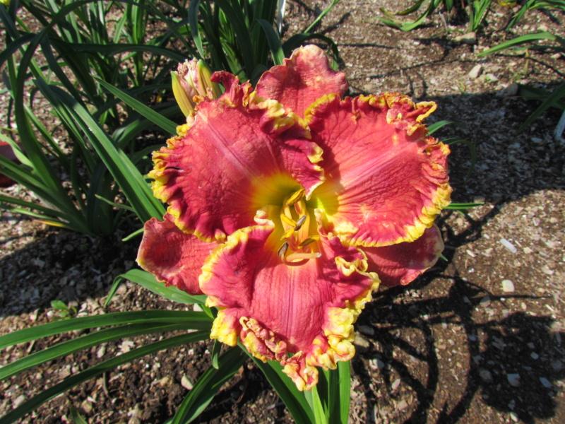 Mes hybrides: Semis 2014 au jardin 14081-12