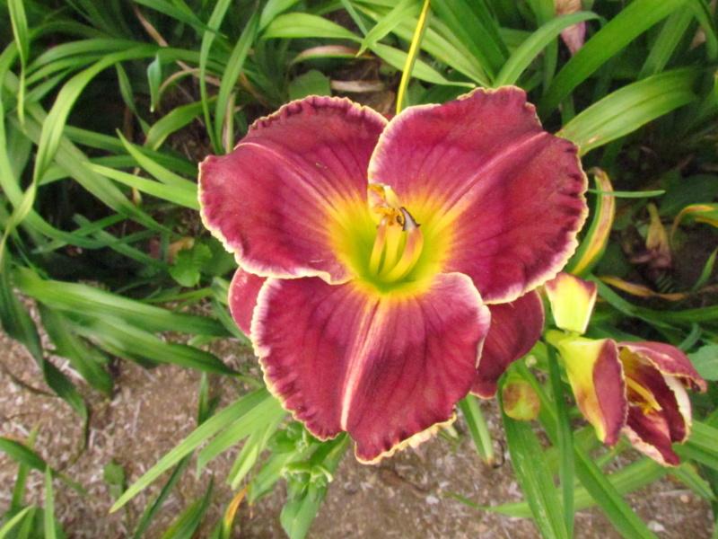 Mes hybrides: Semis 2014 au jardin 14130-10