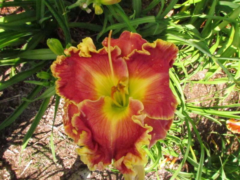 Mes hybrides: Semis 2014 au jardin 14172-10