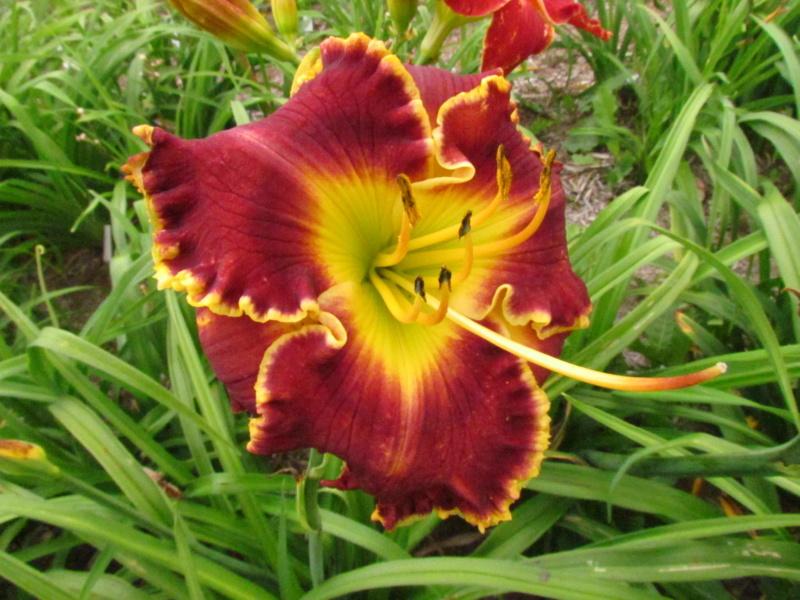 Mes hybrides: Semis 2014 au jardin 14173-10
