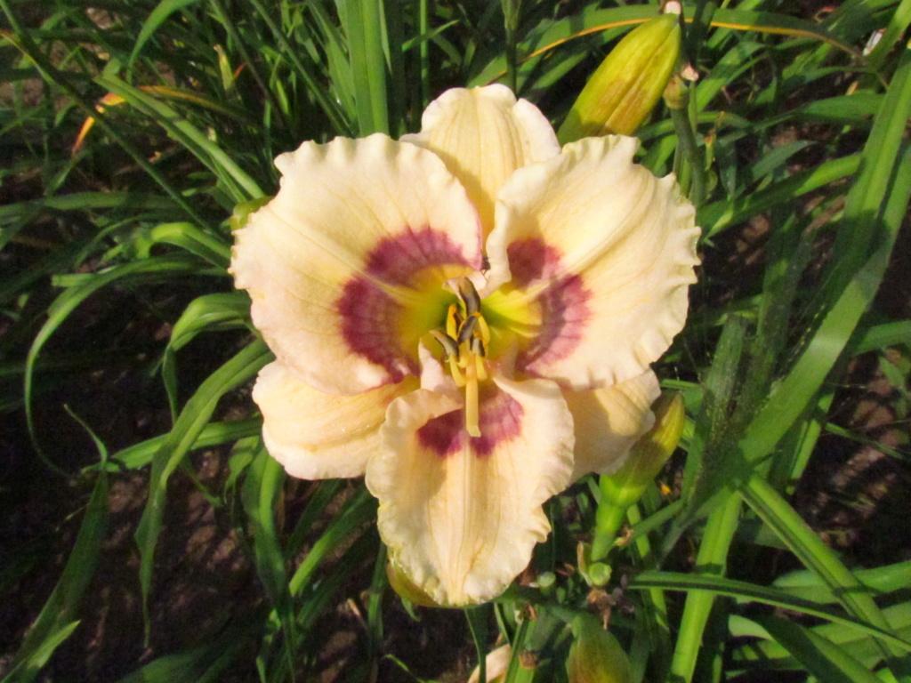 Mes hybrides: Semis 2014 au jardin - Page 3 14286-11