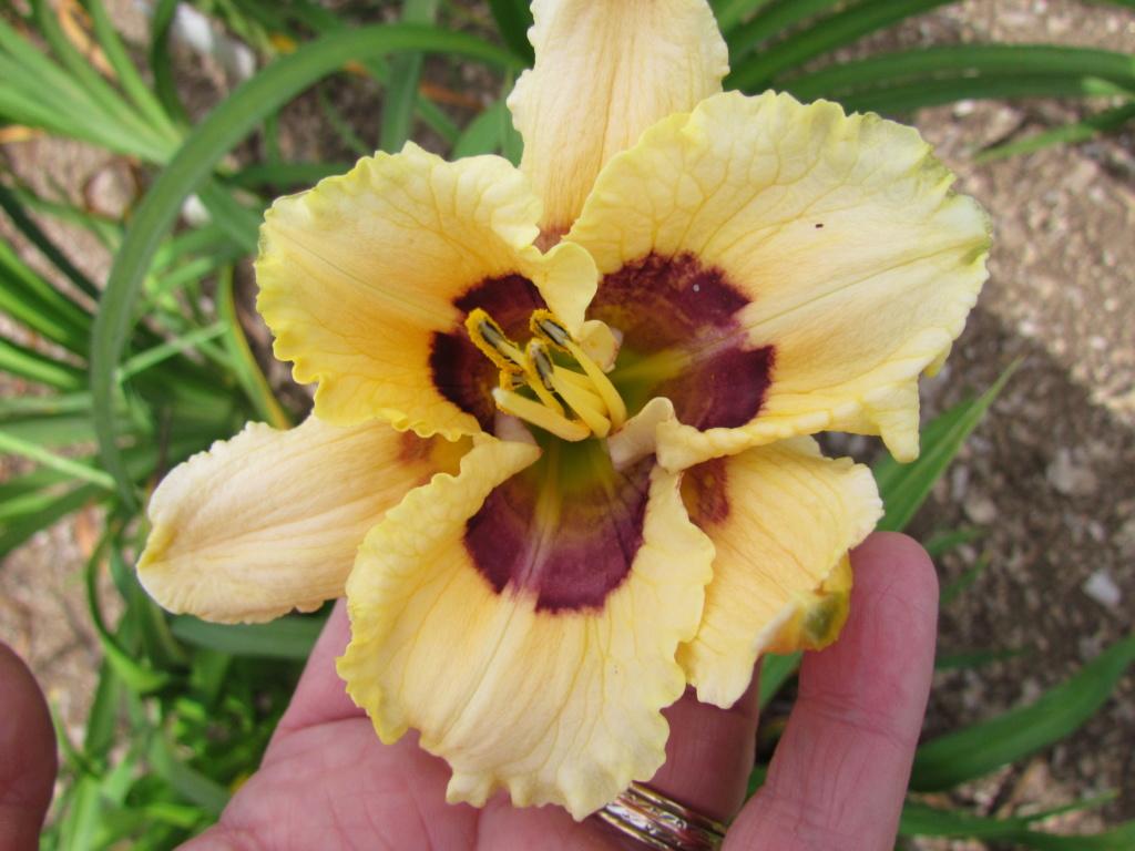 Mes hybrides: Semis 2014 au jardin - Page 3 14286-14