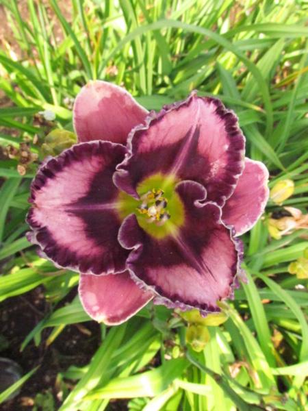 Mes hybrides: Semis 2014 au jardin 14304-10