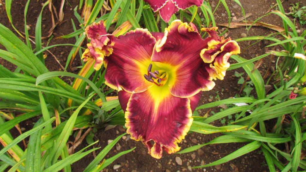 Mes hybrides: Semis 2014 au jardin - Page 3 14308-10