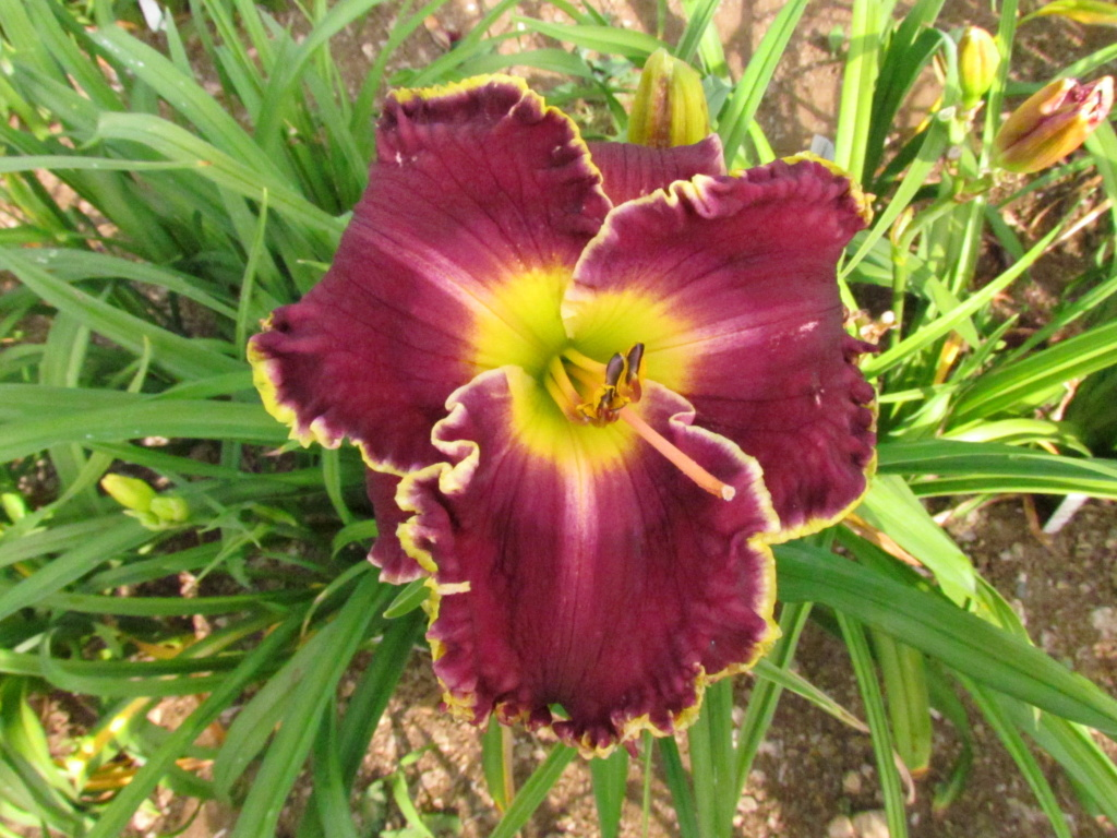 Mes hybrides: Semis 2014 au jardin - Page 3 14308-11
