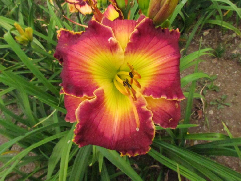Mes hybrides: Semis 2014 au jardin - Page 3 14311-10