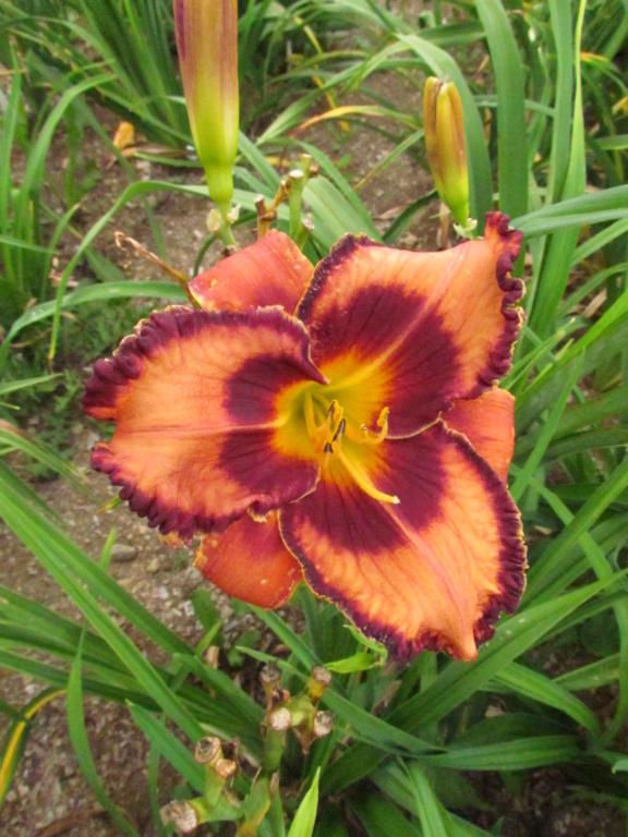 Mes hybrides: Semis 2014 au jardin - Page 3 14314-13