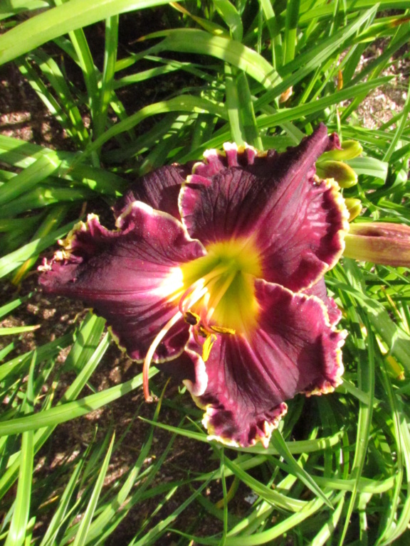 Mes hybrides: Semis 2014 au jardin - Page 3 14338-11