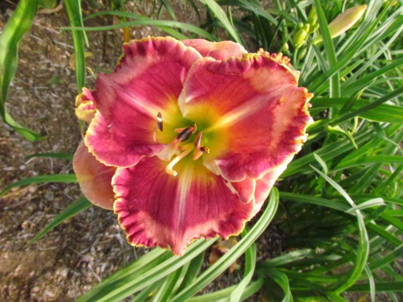 Mes hybrides: Semis 2014 au jardin 14379_10