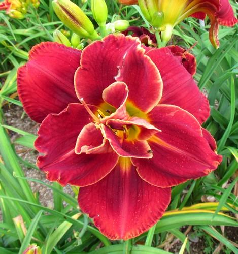 Mes hybrides: Semis 2014 au jardin 14449-10