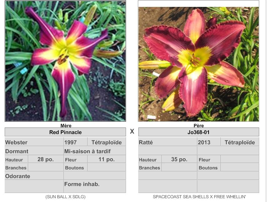 Mes hybrides: semis 2015 à sélectionner 15005_10