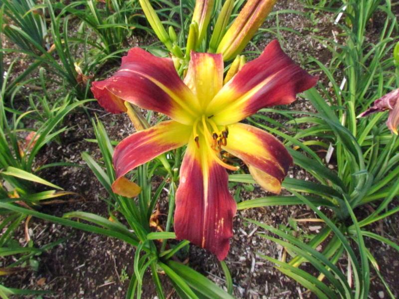 Mes hybrides: semis 2015 à sélectionner - Page 2 15083-14