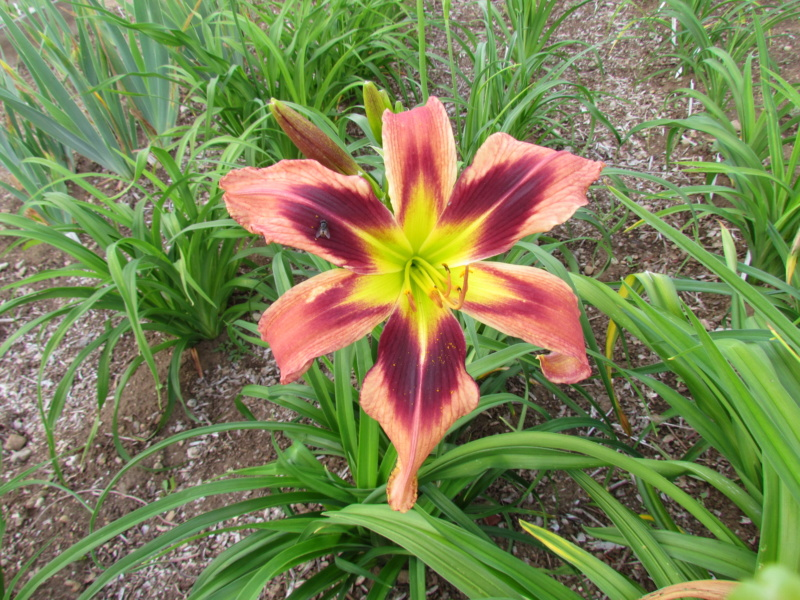 Mes hybrides: semis 2015 à sélectionner - Page 2 15084-11