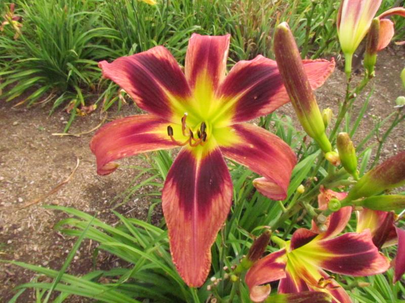 Mes hybrides: semis 2015 à sélectionner - Page 2 15087-14