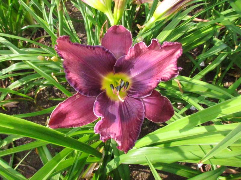 Mes hybrides: semis 2015 à sélectionner - Page 2 15092-11