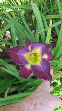 Mes hybrides: semis 2015 à sélectionner - Page 2 15092-12