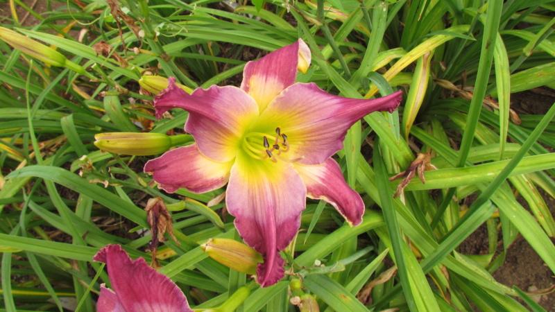 Mes hybrides: semis 2015 à sélectionner - Page 2 15092-13