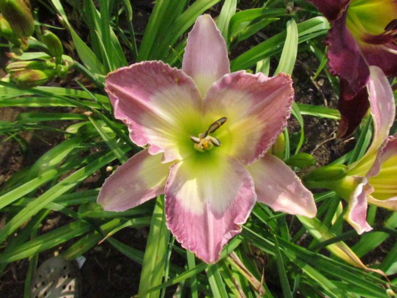 Mes hybrides: semis 2015 à sélectionner - Page 2 15092-19