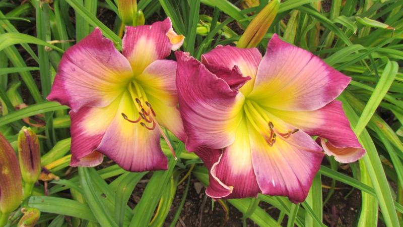 Mes hybrides: semis 2015 à sélectionner - Page 2 15094-15