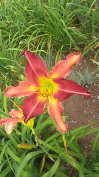 Mes hybrides: Semis 2016 à sélectionner - Page 2 16054-10