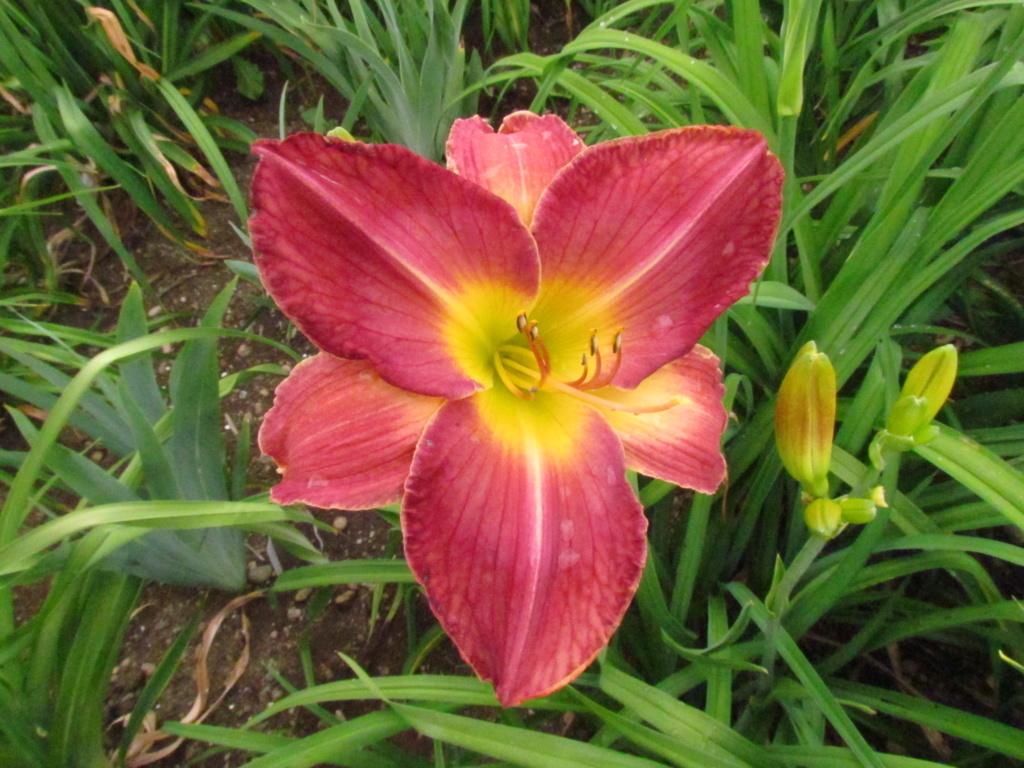 Mes hybrides: Semis 2016 à sélectionner - Page 2 16054-11