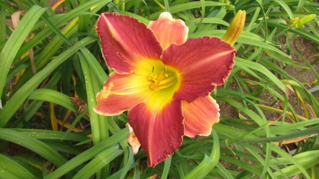 Mes hybrides: Semis 2016 à sélectionner - Page 2 16054-12