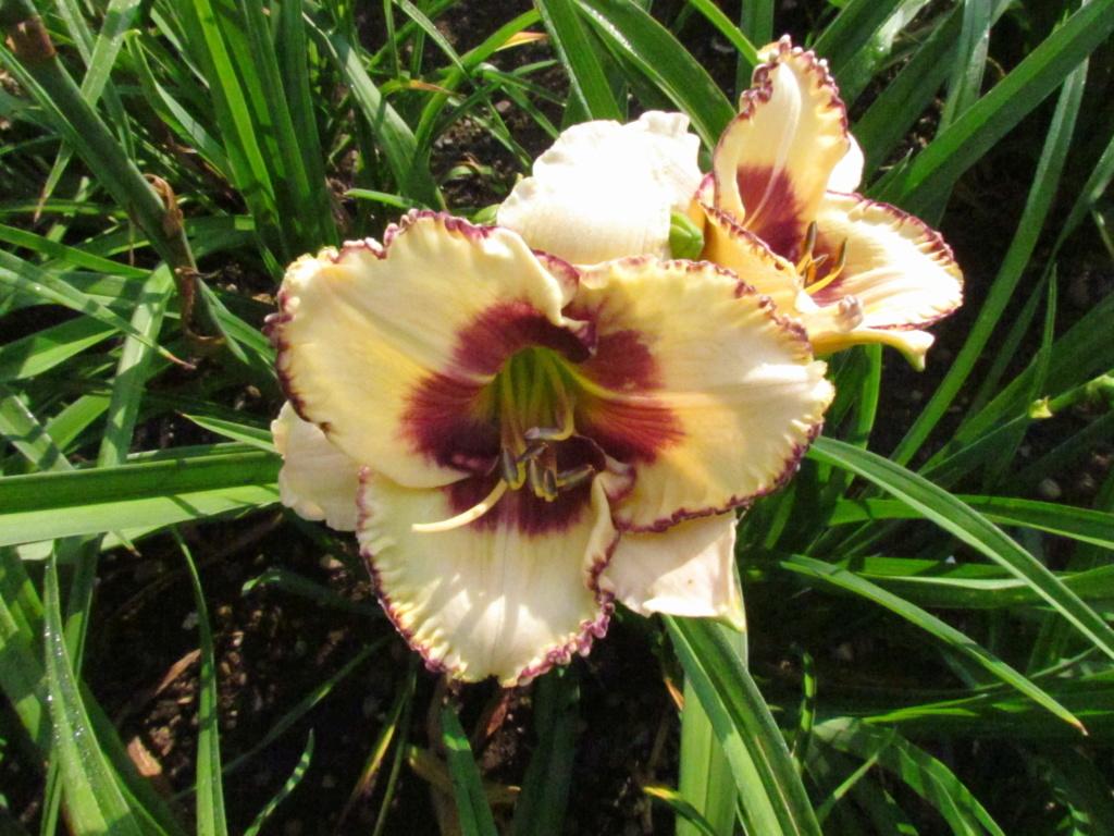 Mes hybrides: Semis 2016 à sélectionner - Page 2 16058-14