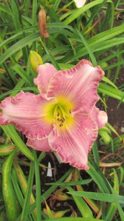 Mes hybrides: Semis 2016 à sélectionner - Page 2 16060-10