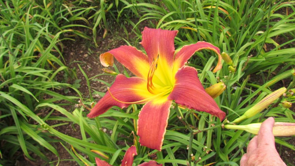 Mes hybrides: Semis 2016 à sélectionner - Page 2 16075-11