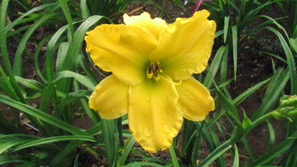 Mes hybrides: Semis 2016 à sélectionner - Page 2 16077-10