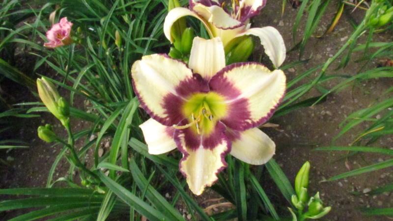 Mes hybrides: Semis 2016 à sélectionner - Page 4 16157-12
