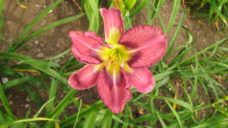 Mes hybrides: Semis 2016 à sélectionner - Page 4 16161-12